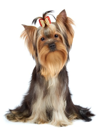Yorkshire Terrier tilted its head to one side photo