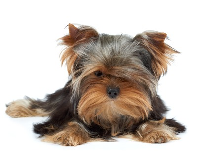 yorkie: Puppy of the Yorkshire Terrier with black nose