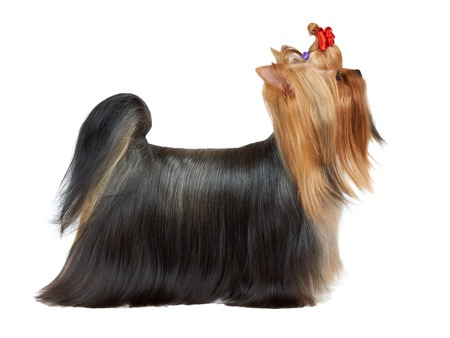 Beautiful Yorkshire terrier posing in dog show photo