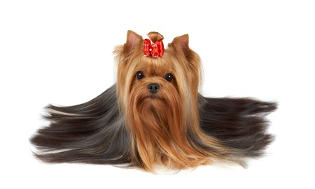 Yorkshire Terrier with beatiful long hair on white Stok Fotoğraf