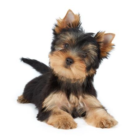 귀여운 애완 동물 화이트에 격리입니다. 요크셔 테리어 강아지. 스톡 콘텐츠