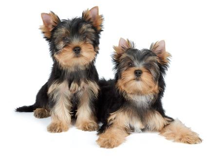 흰색 위에 두 귀여운 요크셔 테리어 강아지 스톡 콘텐츠