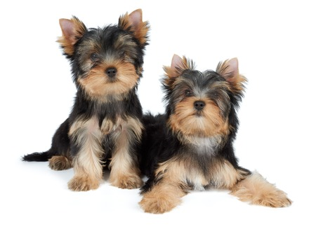 Two cute Yorkshire Terrier puppies over white