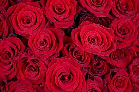 꽃 배경으로 많은 빨간 장미