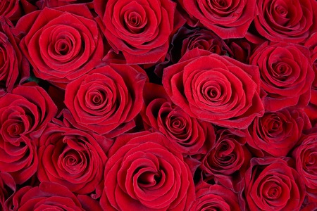 Many red roses as a floral background Standard-Bild