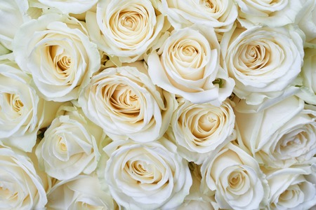 rose petals: Many white roses as a floral background Stock Photo