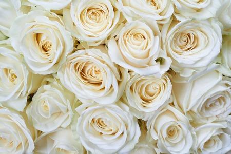Vele witte rozen als een bloem achtergrond Stockfoto