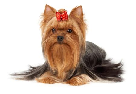 이 순종 요크셔 테리어의 머리카락은 전문 육종가가 손질합니다. 그것의 머리는 활을 맨 위에 밝은 빨간색이다. 강아지는 흰색 배경에 격리됩니다. 스톡 콘텐츠