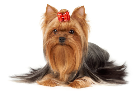breeder: Hair of this purebred Yorkshire terrier is groomed by professional breeder. Its head is bright red with bow on top. Dog is isolated on white background. Stock Photo