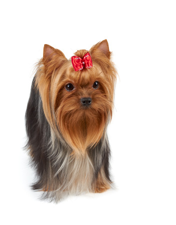 pet  animal: Yorkshire Terrier with large beautiful eyes, long hair and red bow on top isolated over white Stock Photo