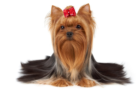One purebred Yorkshire Terrier with beautiful long hair and red bow on top is isolated on white backdrop