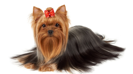 professionally: Yorkshire Terrier with professionally groomed hair isolated on white
