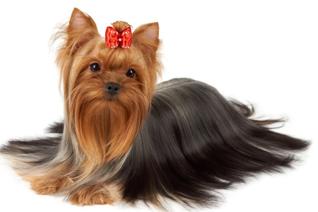 groomed: Hair of this purebred Yorkshire terrier is groomed by professional breeder. Its head is bright red with bow on top. Stock Photo