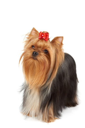 breeder: Looking upward purebred Yorkshire Terrier isolated on white background. Its head is bright red with bow on top. Its hair is groomed by professional breeder.