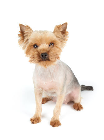 short haircut: Yorkshire Terrier with short haircut and funny muzzle looks at the camera. It sits on white background. Stock Photo