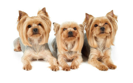 perfectly: Three perfectly groomed Yorkshire Terriers isolated over white