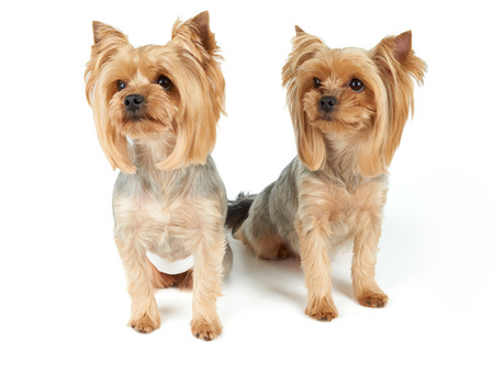 perfectly: Two Yorkshire Terriers sit on white background. They were washed, got haircut and perfectly groomed before photo shoot.