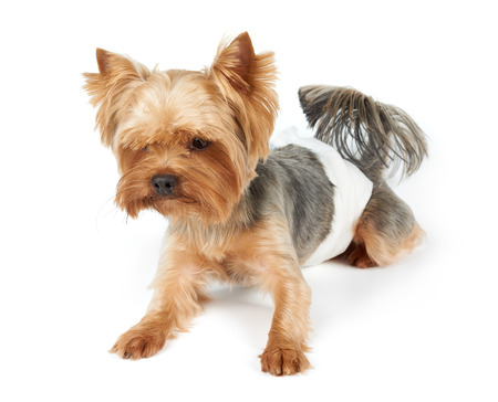 Male Yorkshire Terrier in dog diapers looks down. Isolated on white.