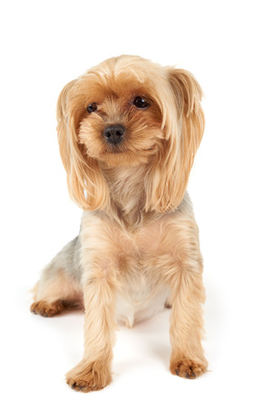 wretched: Melancholic Yorkshire Terrier isolated on white background