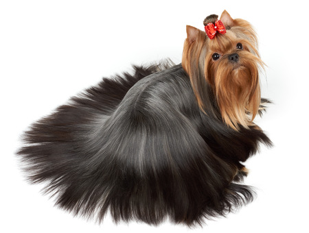 combed: One Yorkshire Terrier with perfectly groomed and combed long hair of round form lies on white isolated background. Upper view.