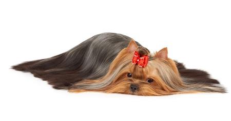 capelli lunghi: Perfettamente curato Yorkshire Terrier con sparsi capelli molto lunghi isolati su bianco