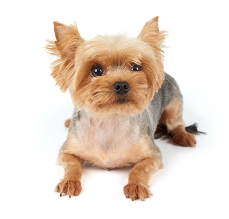 short haircut: Yorkshire Terrier with large eyes and short haircut isolated on white background