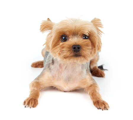 short haircut: Yorkshire Terrier with large beautiful eyes and short haircut lies on white isolated background