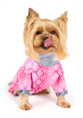 licking tongue: Yorkshire Terrier in coveralls stuck out licking tongue sitting on white background