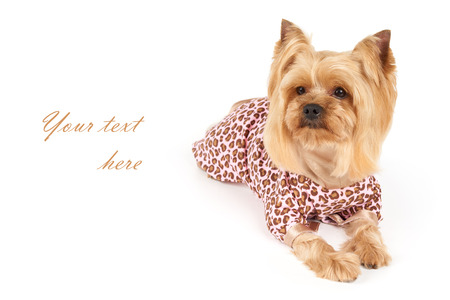 patchy: Photograph of the Yorkshire Terrier in patchy coveralls with space for text Stock Photo