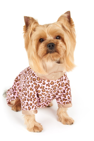 patchy: Photograph of the Yorkshire Terrier in patchy coveralls sits on white