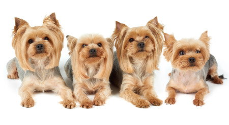 groomed: Four Yorkshire Terriers lie on white background. They were washed, got haircut and perfectly groomed before photo shoot.