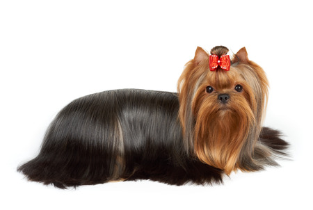 One Yorkshire Terrier with red bow perfectly groomed for dog show lies on white isolated background Stock Photo
