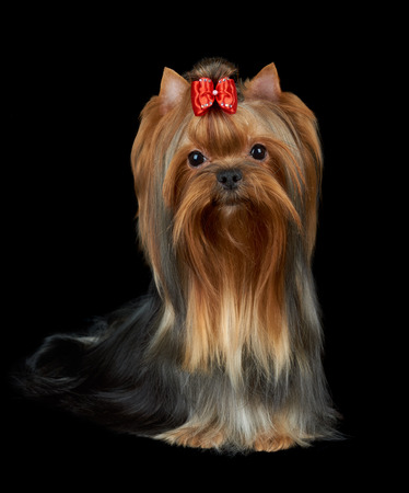 accurately: Very nice Yorkshire Terrier with red bow and accurately groomed hair sits on black isolated background