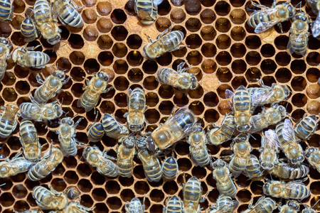 worker bees: Macro shot of honeycomb with worker bees