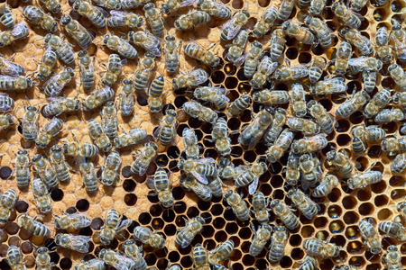worker bees: Many worker bees on the honeycomb at summertime Stock Photo