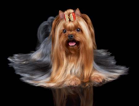 perfectly: Beautiful Yorkshire Terrier with slightly open mouth lies on black reflecting background. Its long hair is perfectly combed by professional groomer. Stock Photo