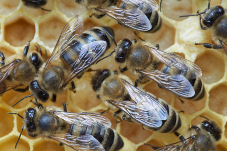 pollinator: Honey bees over larva in the honeycomb