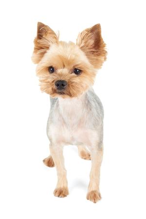 Een Yorkshire Terrier Met Kapsel Op Wit Wordt Geisoleerd Royalty