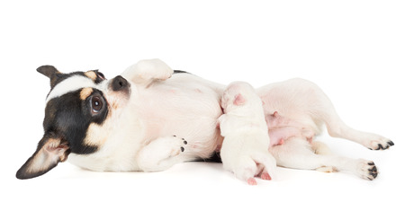 sucks: New born puppy of Chihuahua sucks mothers milk Stock Photo