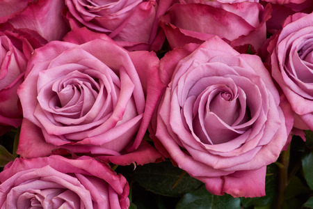 crimson colour: Crimson roses in the bunch shot indoors