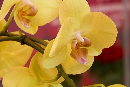 indoors: Yellow orchid on the branch shot indoors Stock Photo