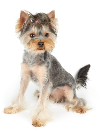 haircut: Haircut Yorkshire Terrier sits on white background Stock Photo