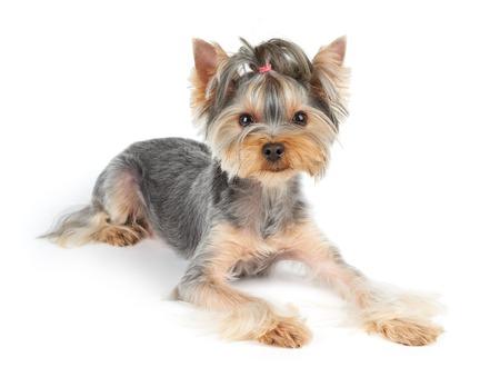 cabello corto: Yorkshire Terrier con el pelo corto se encuentra en el fondo blanco