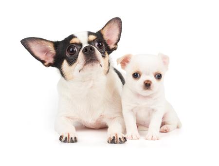 puta: Perra de Chihuahua y su perrito blanco juntas Foto de archivo