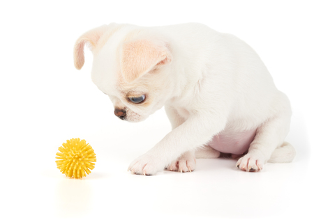 yellow ball: Puppy of Chihuahua looks at yellow ball on white background isolated
