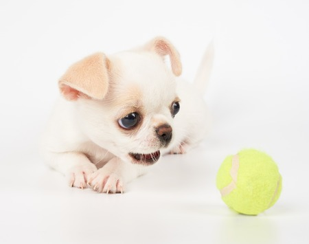 Puppy of Chihuahua tries to catch yellow tennis ball on white isolated background