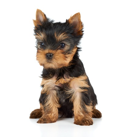 dog grooming: One puppy of the Yorkshire Terrier on white