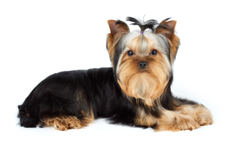 dog white background: Young male of Yorkshire Terrier over white