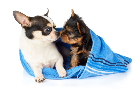sniff: Chihuahua and Yorkshire terrier puppy in blue towel sniff each other