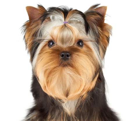 dog grooming: Portrait of the Yorkshire Terrier over white